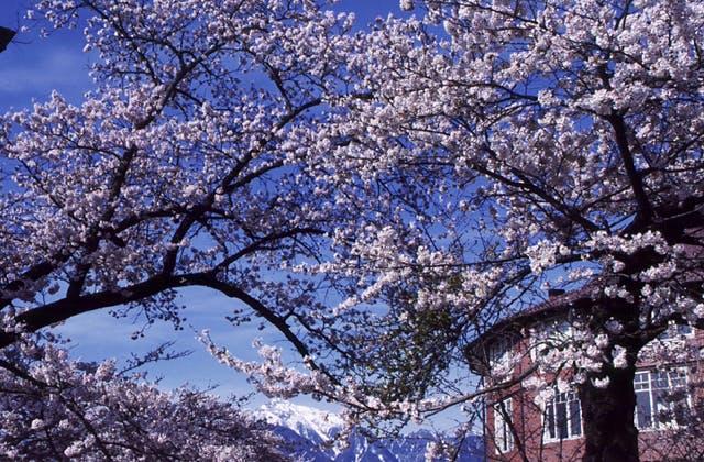 清春の桜群