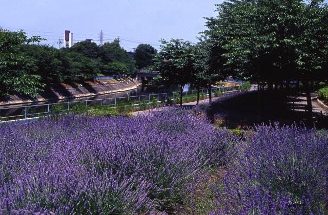 荒子川公園ガーデンプラザのラベンダー
