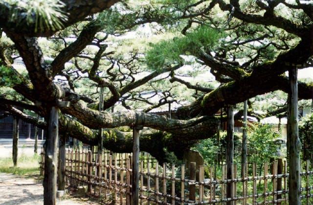永安寺の雲竜の松