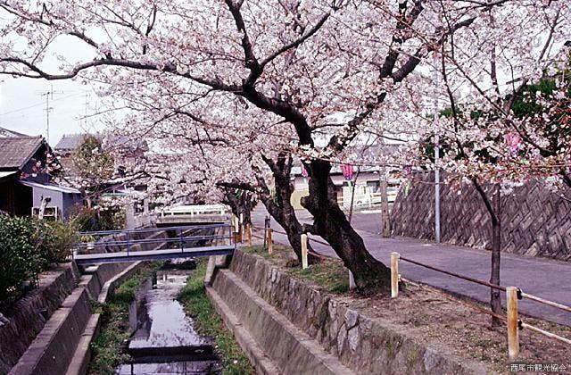 二ノ沢川の桜