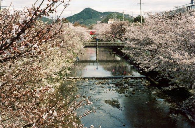 五条川堤の桜