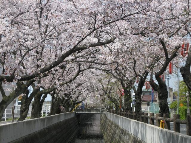 十四川の桜