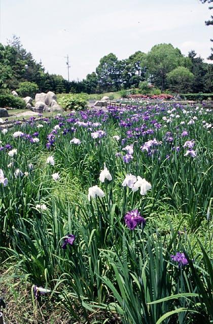 神戸公園のハナショウブ