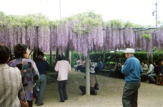 太巌寺のフジ