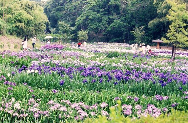 亀山公園の菖蒲園