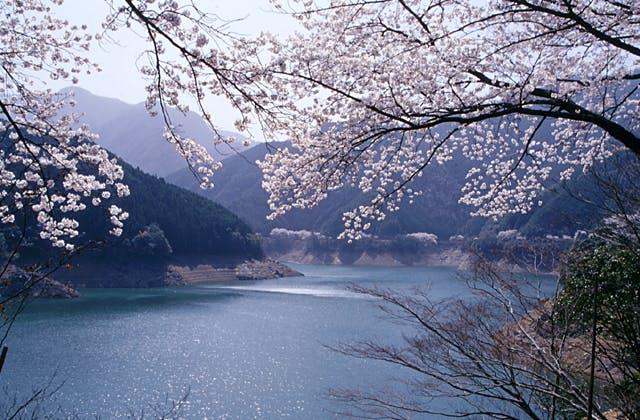 宮川ダム湖の桜