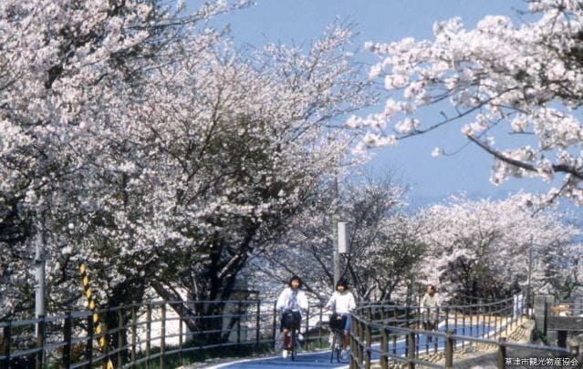 旧草津川の桜