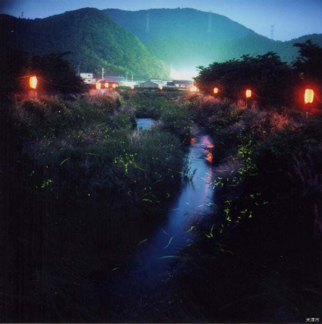 天野川で乱舞するホタル