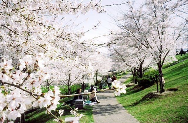 桜づつみ「木津川・緑と水辺のやすらぎ回廊」