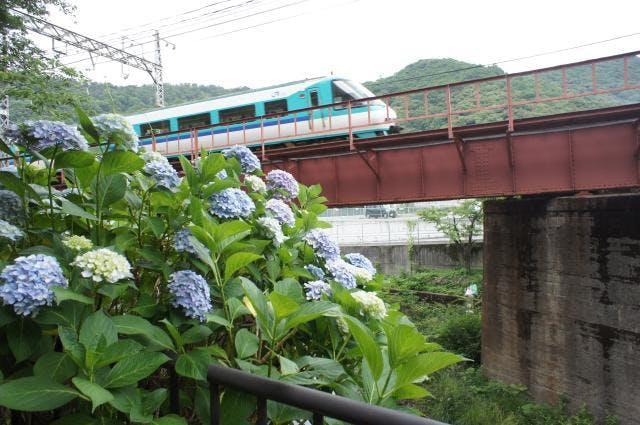 山中渓の紫陽花