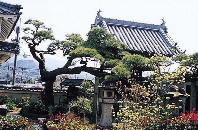大光寺のしぐれ松