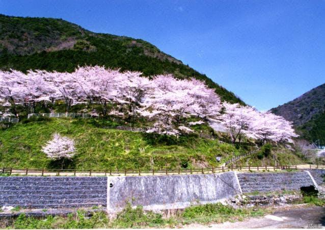 広川ダム公園の桜