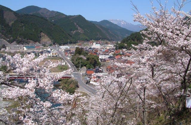 塔の峯公園の桜