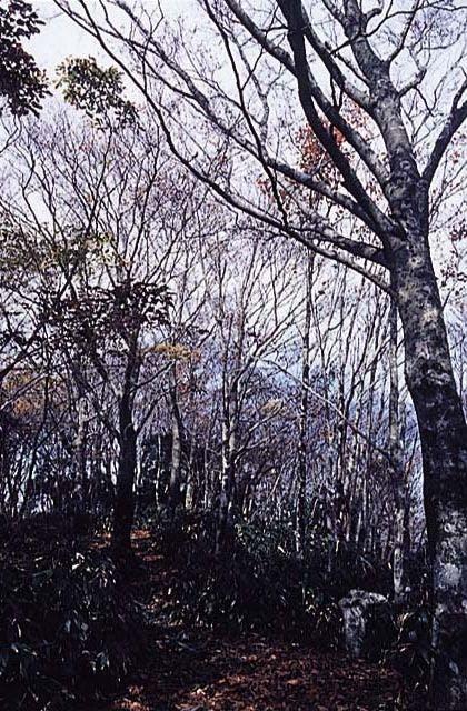 莇ケ岳のブナ原生林