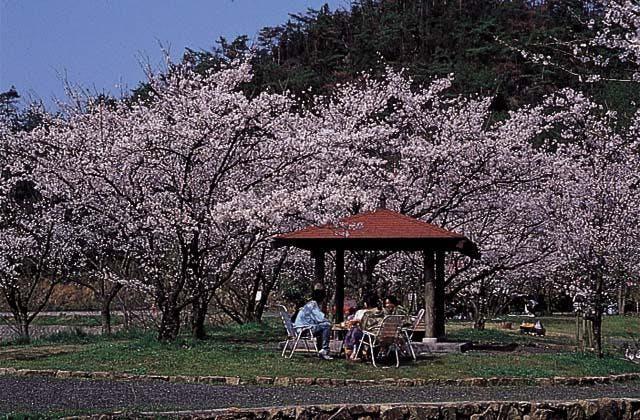 相原公園周辺の桜