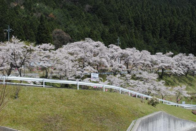 志戸坂峠道入口の桜並木