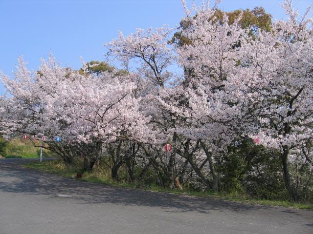 常盤公園の桜