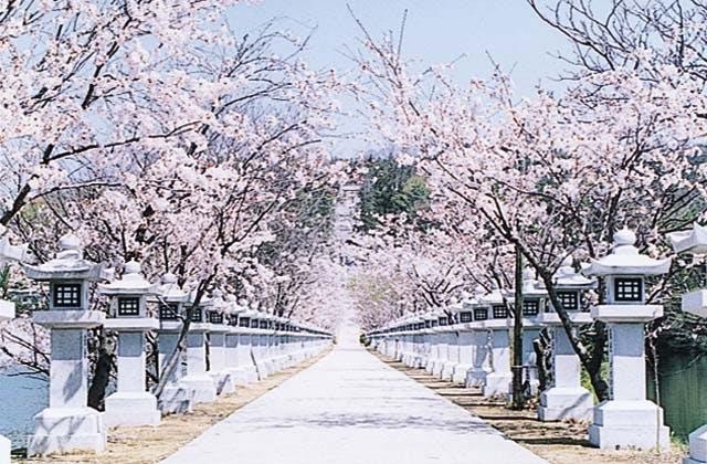 竜桜公園の桜