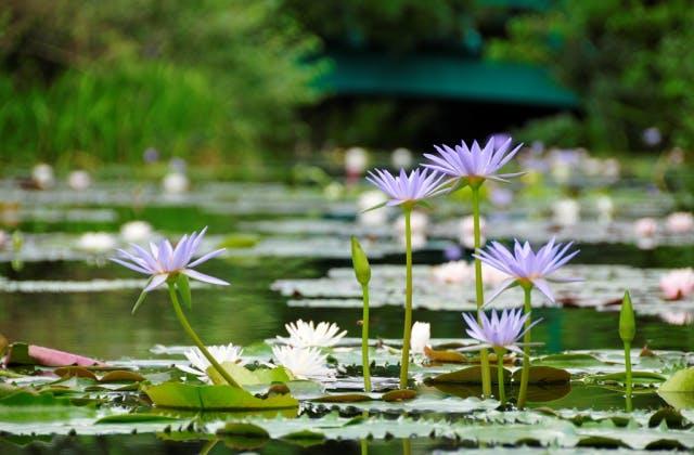 モネが咲かせたいと夢見た「青い睡蓮」