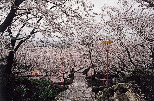 三池公園の桜