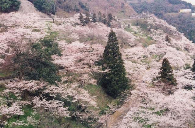 八木山峠のサクラ