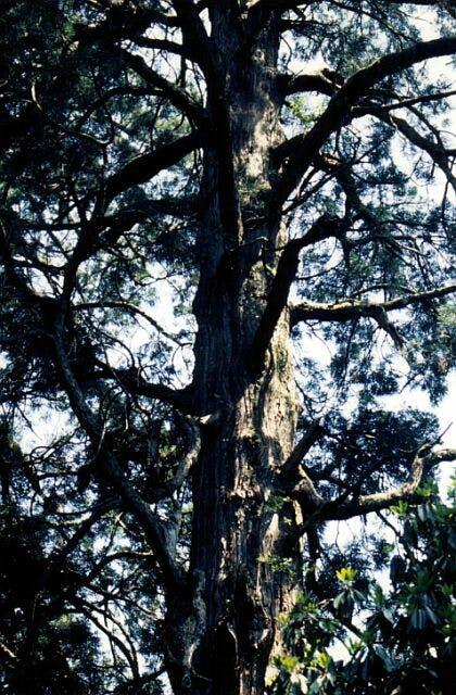 小石原の行者杉