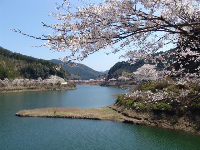 日向神ダム千本桜