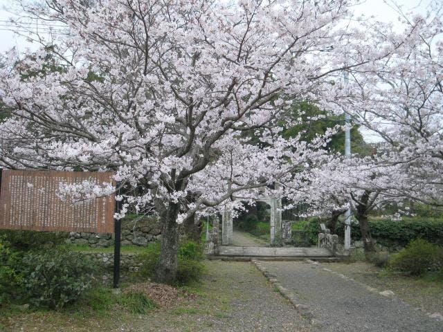 普明寺の桜