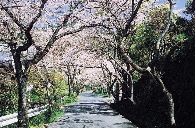 仁比山神社の桜