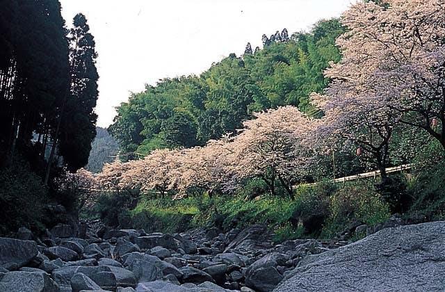 脊振峡の桜