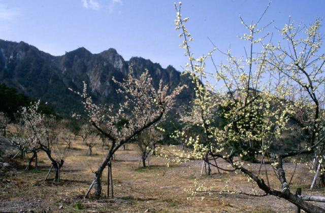 花木公園の梅