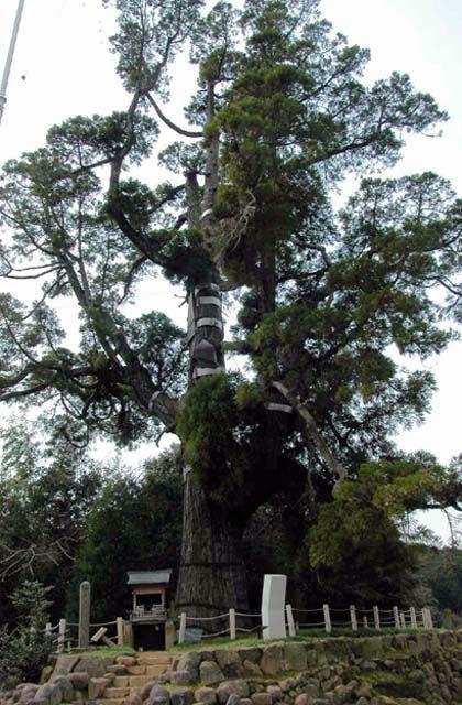 女夫木の大杉
