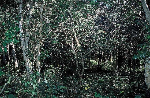 久賀島の椿原始林