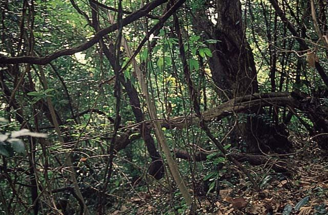 岩戸山樹叢