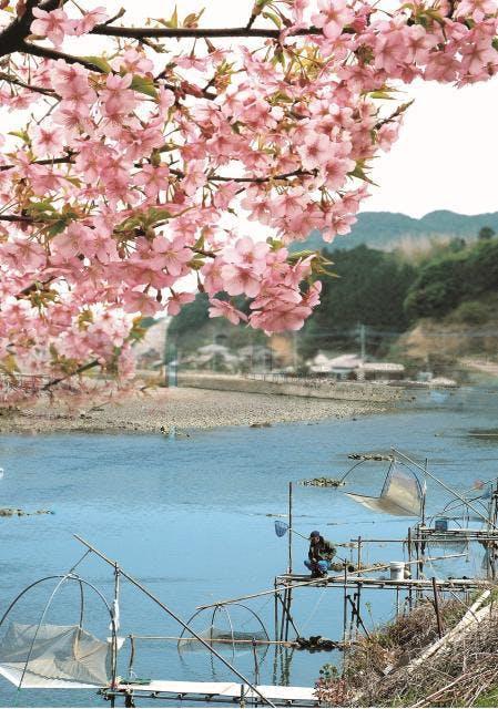 3月の河津桜とシロウオ漁