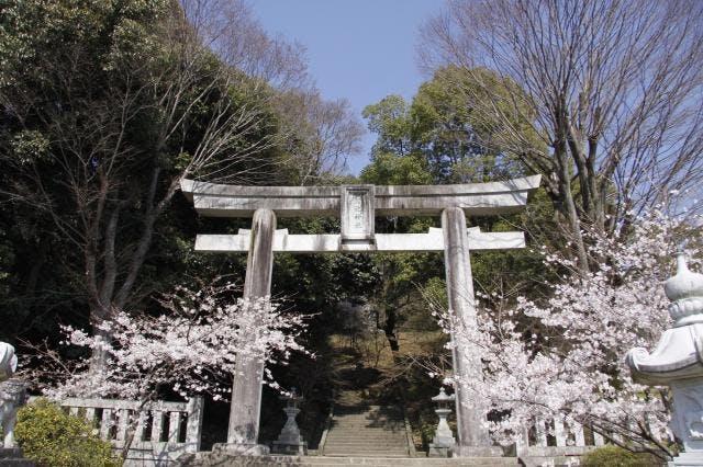 菊池神社鳥居(桜)