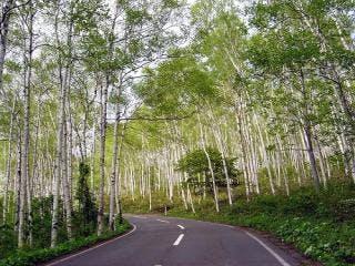 平庭高原の白樺林