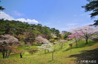 君ヶ岡の桜