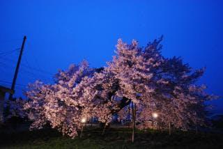 龍蔵桜ライトアップ