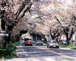 日光街道の桜