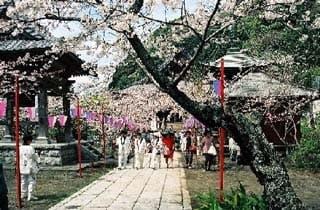 那古観音の桜