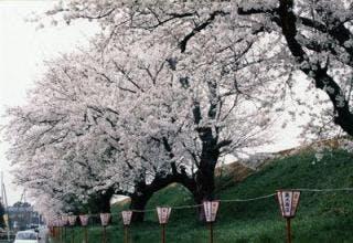 雁巻堤の桜