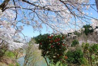 下条川ダム桜