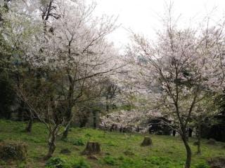 小山田彼岸桜4