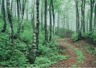 ブナ林の写真