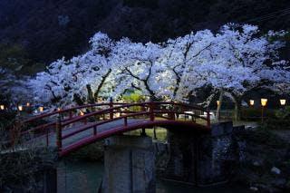 庄川桜並木