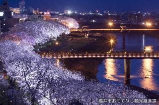 足羽川桜並木ライトアップ