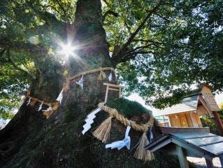 尾鷲神社の大クス