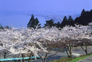 びわ湖バレイの桜