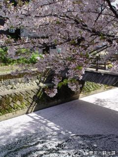 城崎 木屋町通の桜と花筏